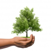OLG Celle zur Lebenserwartung von Bäumen: Keine verderbliche Ware!